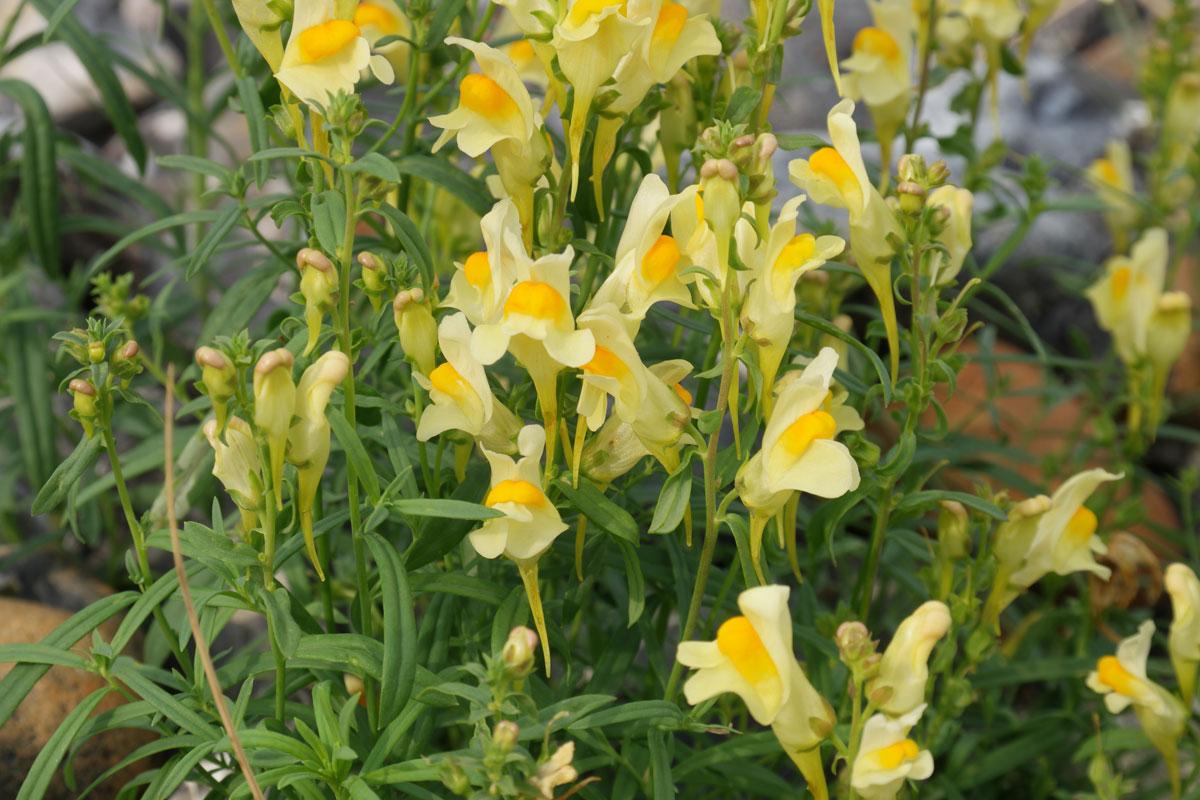 Linaria vulgaris